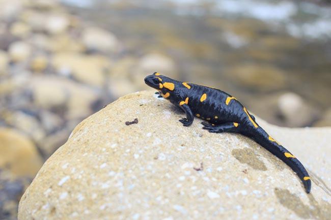 Une salamandre dans le Llech