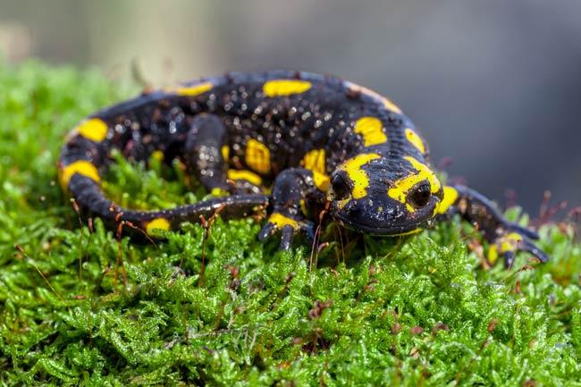 La salamandre des rivière du canigou